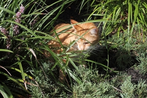 Bad Cat Chris in bushes