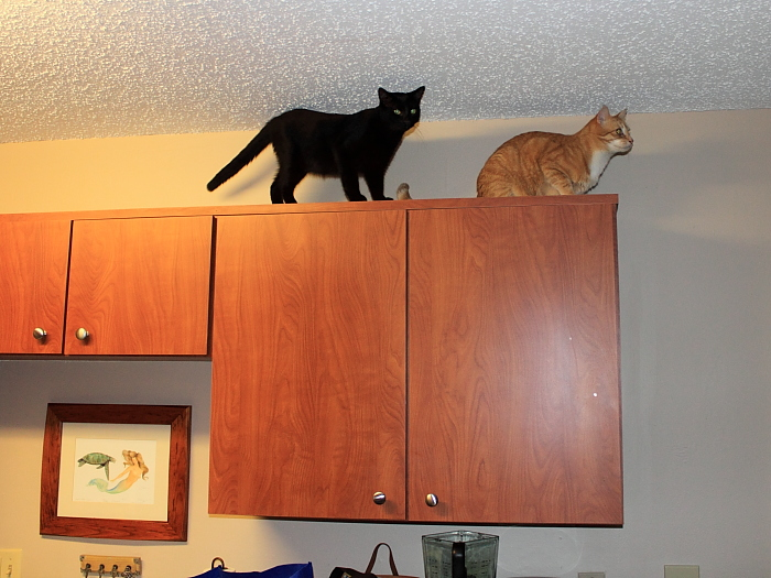 Bad Cat Chris and Puck on top of the Cabinets