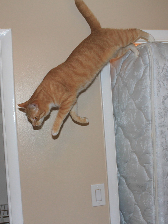 Bad Cat Chris jumping from mattress