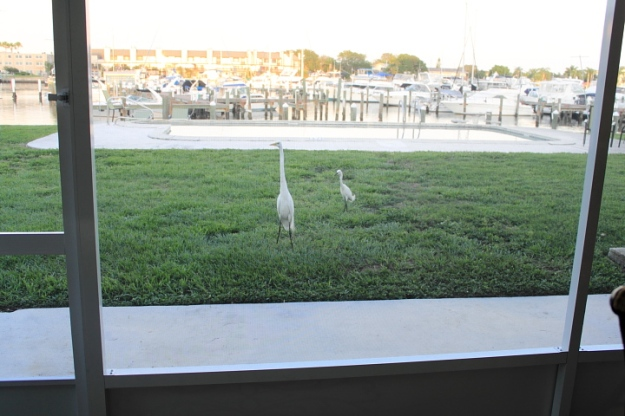 Egret on our patio
