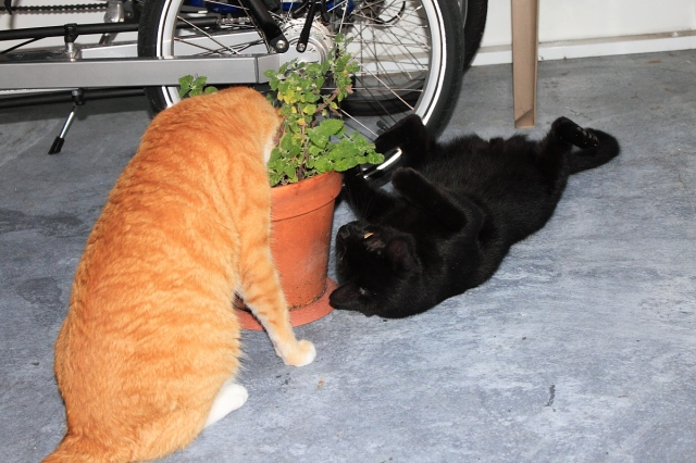 Bad Cat Chris and Puck attacking catnip plant