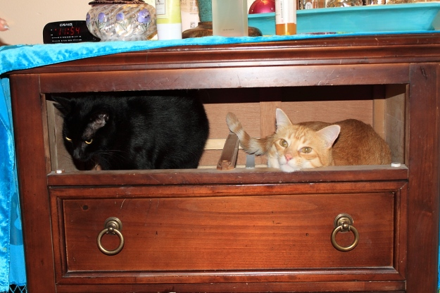 Cats in drawer