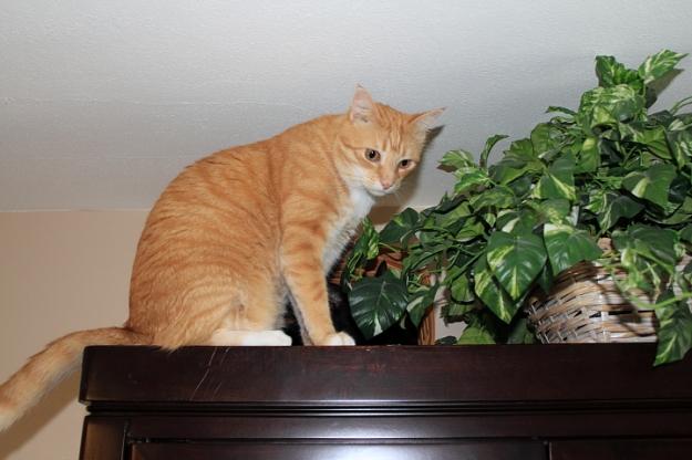 Bad Cat Chris on china cabinet