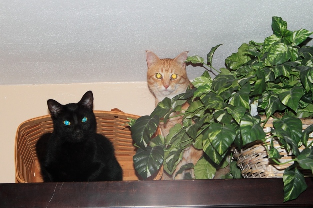Bad Cat Chris and Puck on the China cabinet.