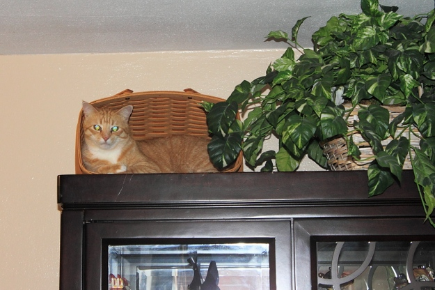 Bad Cat Chris on the China cabinet.
