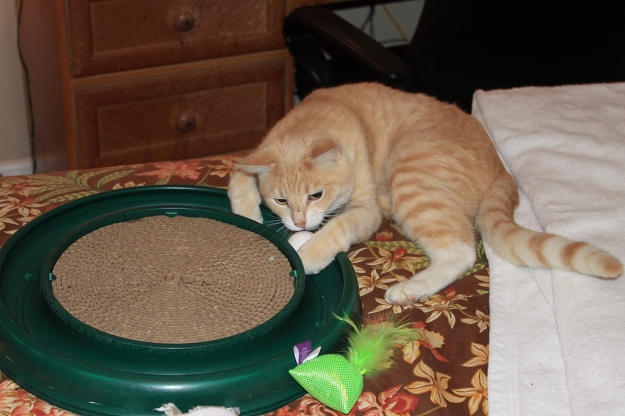 Our cat Frankie playing with Turbo Scratcher