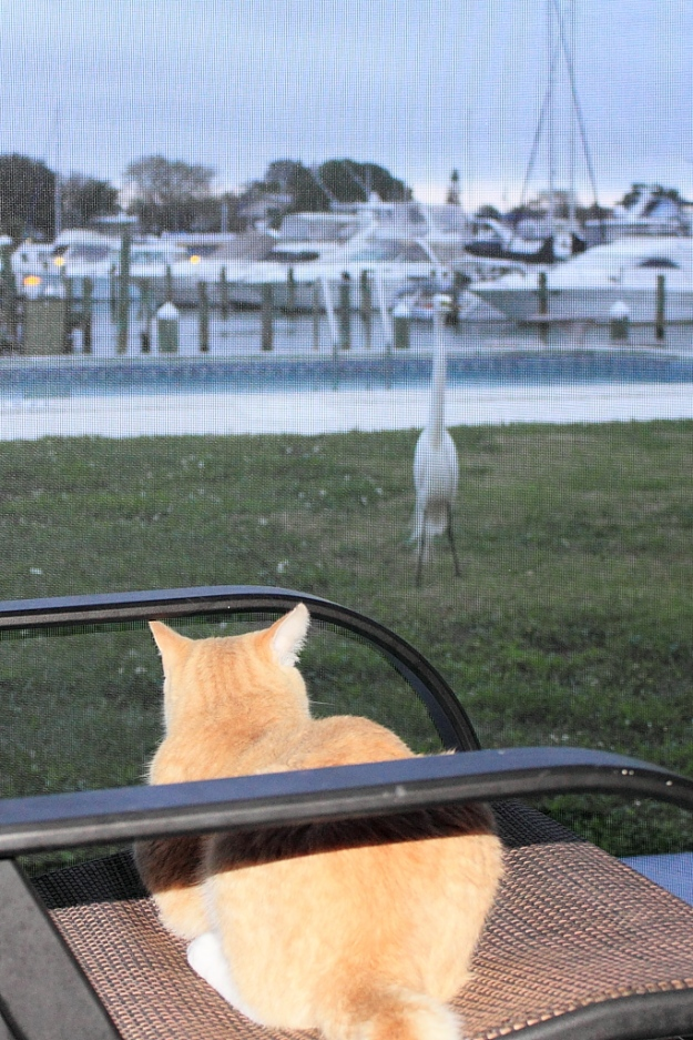 Our cat Frankie watching an egret.