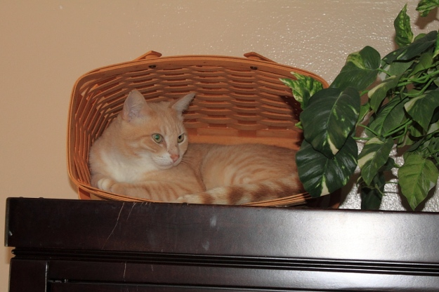 Our cat Frankie in basket