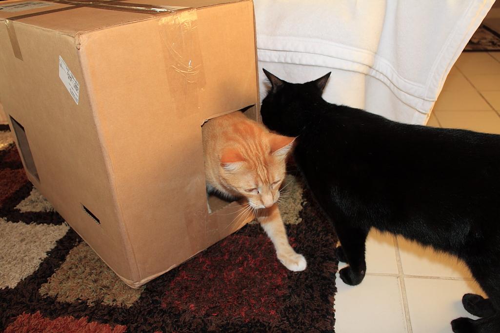 Bad Cat Chris in Fort Box