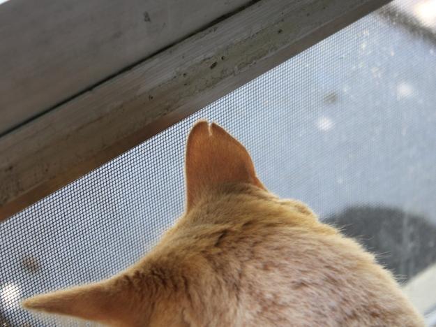 Our cat Frankie's ear notch
