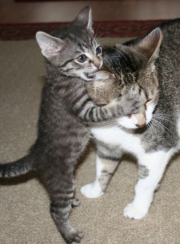 Kitten biting cat's ear