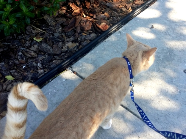 Cat Frankie on leash