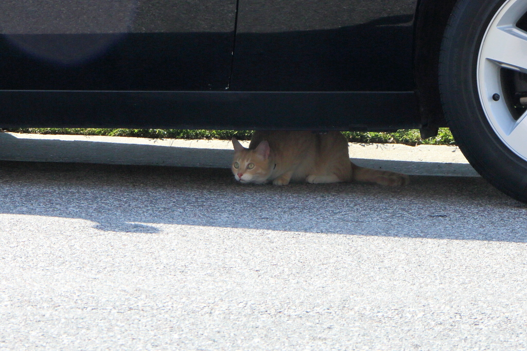 Cat Frankie under car