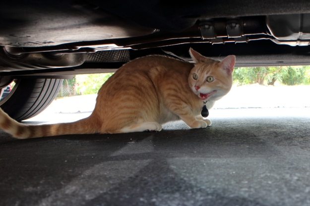 Our cat Frankie under a car