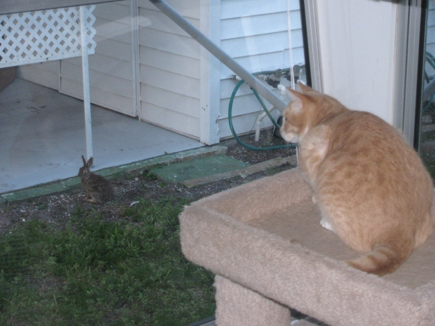 Cat Frankie watching a bunny