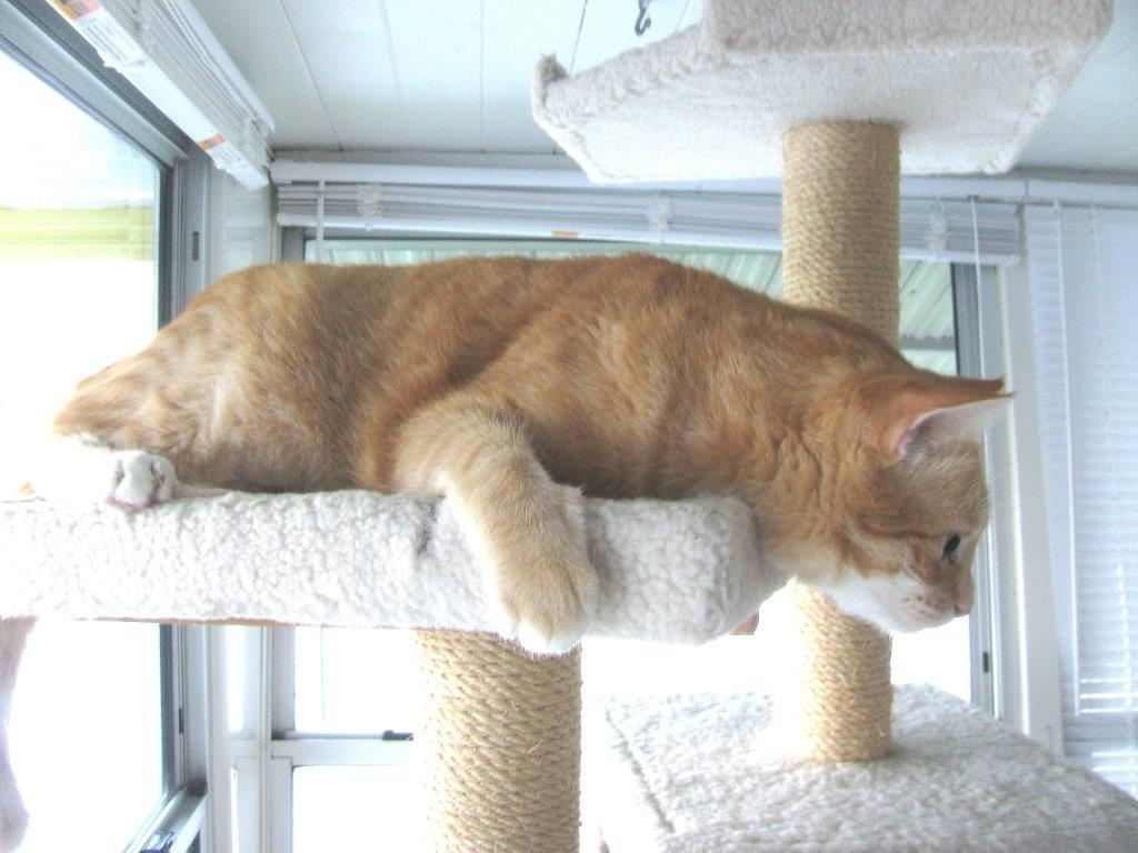 Frankie and Chris playing on new Armarkat cat tree