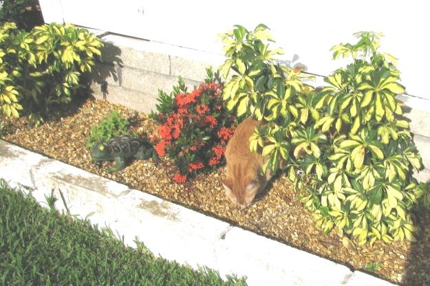 Bad Cat Chris in flower bed.