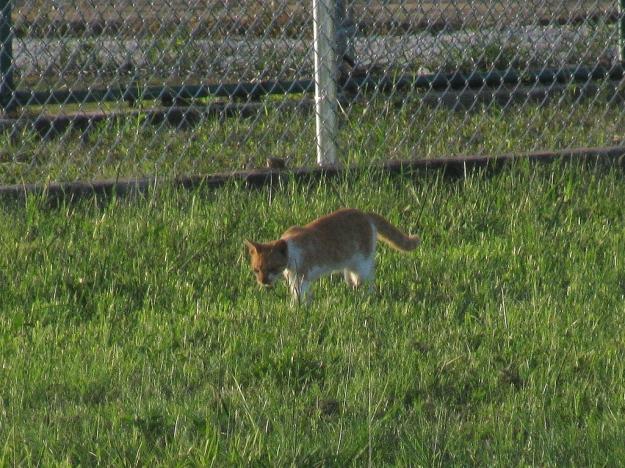 Gold Feral Cat
