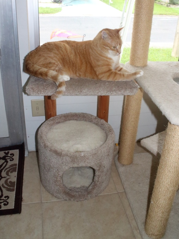 Bad Cat Chris on cat perch