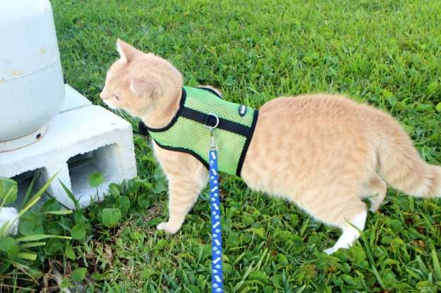 cat Frankie on harness and leash