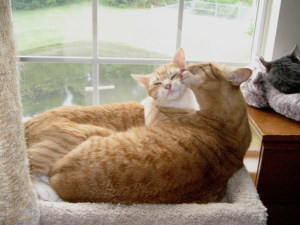 ginger cats, Chris and Tigger