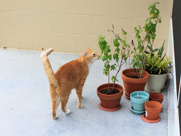 Bad Cat Chris smelling basil plant.
