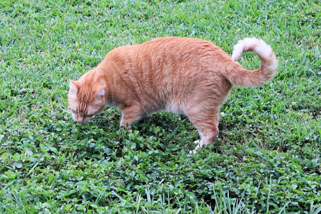 Bad Cat Chris eating grass