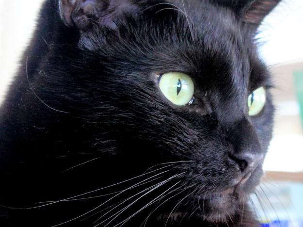 black cat stare