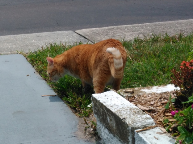 Bad Cat Chris eating grass