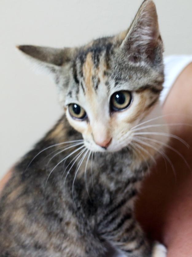 Torbie Kitten