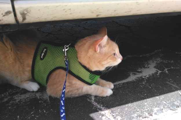 Cat Frankie on Harness