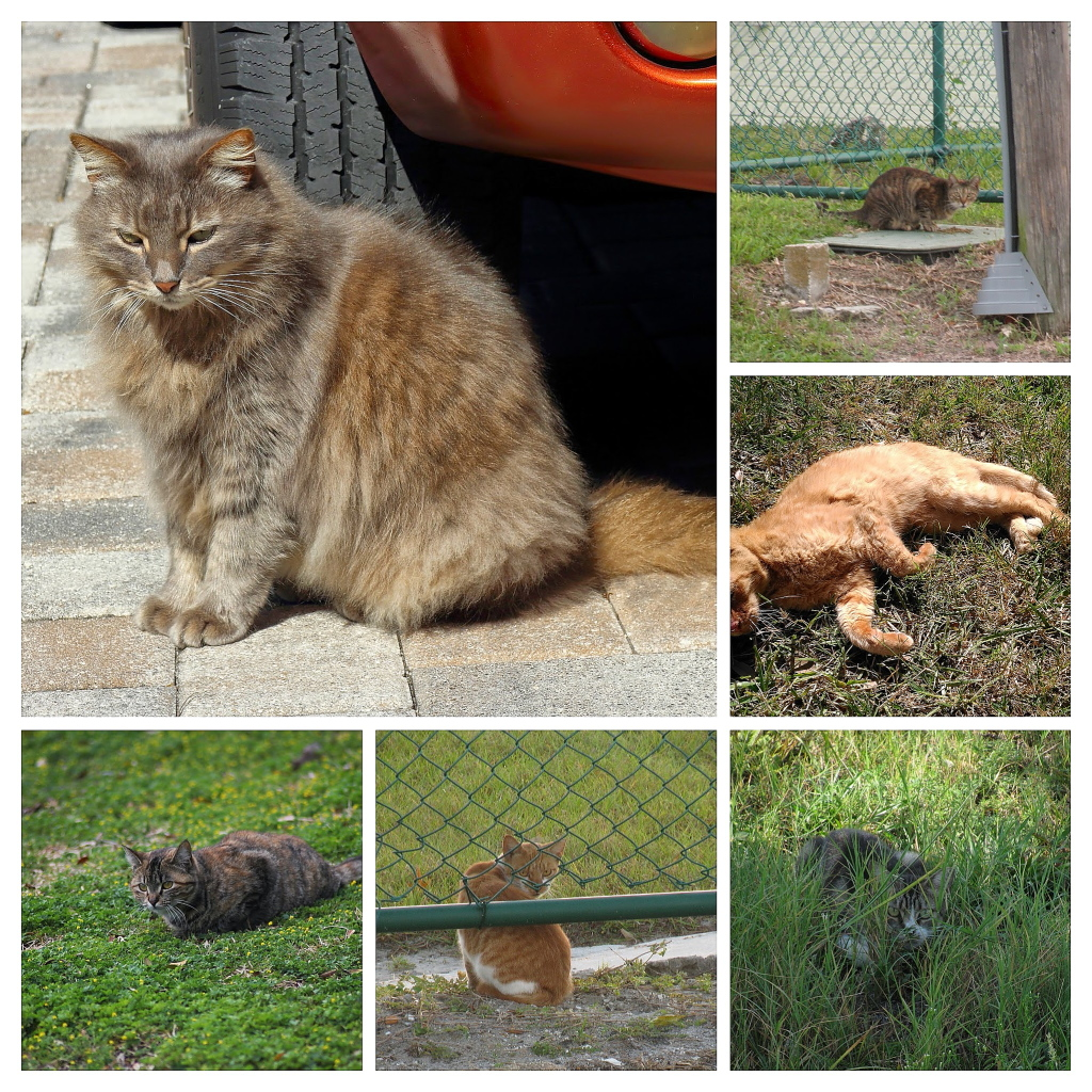 Feral Cat Collage