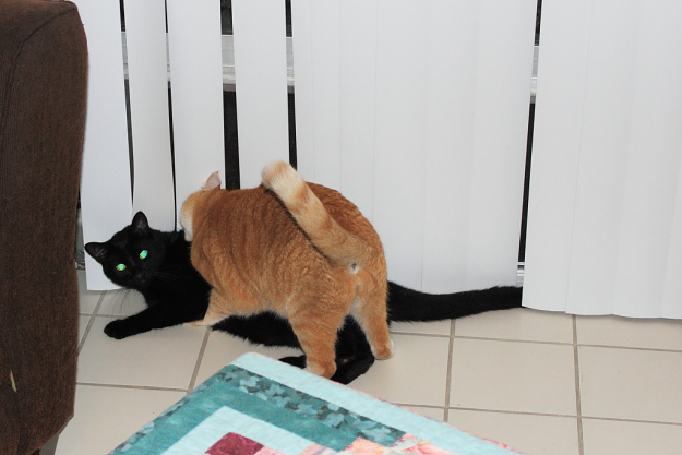 Bad Cat Chris and Puck fighting