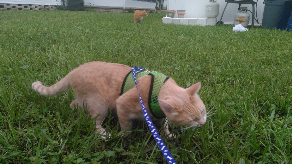 cats outside eating grass