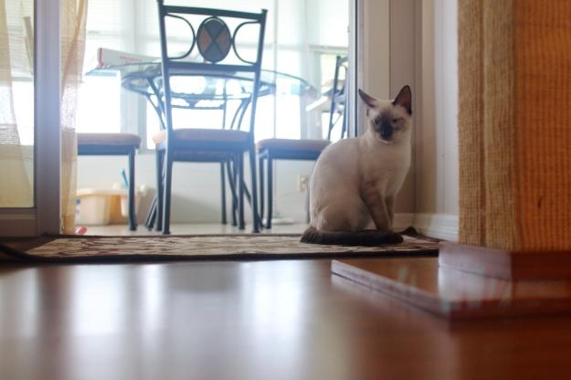 Siamese kitten Floki