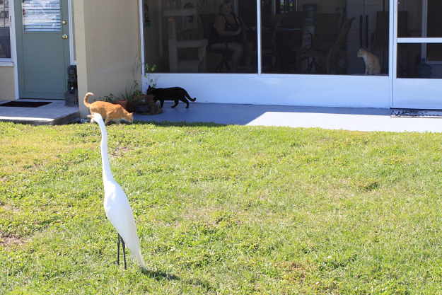 Egret with our cats, Chris and Puck