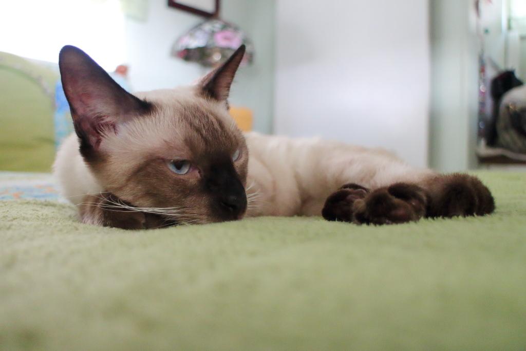 cat Floki napping
