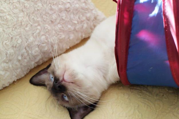 kitten Floki playing in cat tunnel