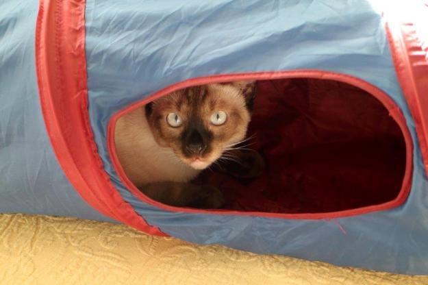 kitten Floki playing in cat tunnel