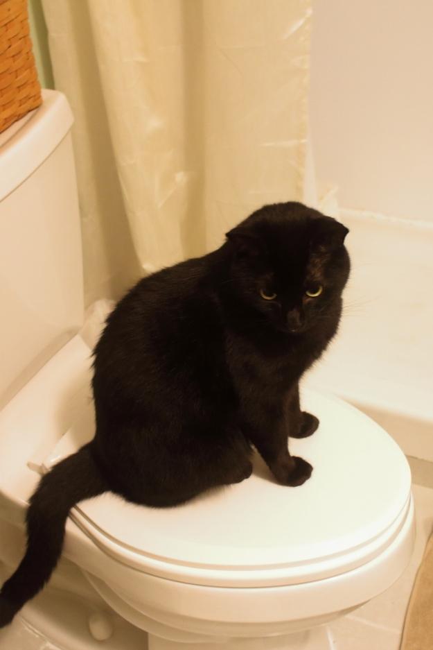 Black cat on toilet