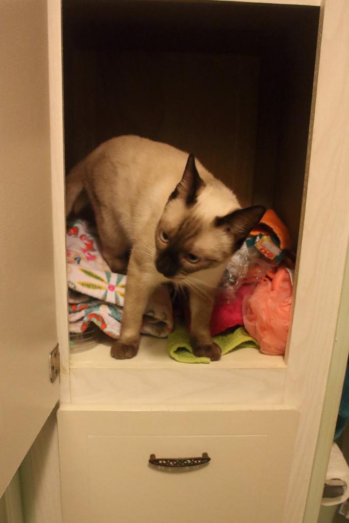 Siamese kitten in cabinet