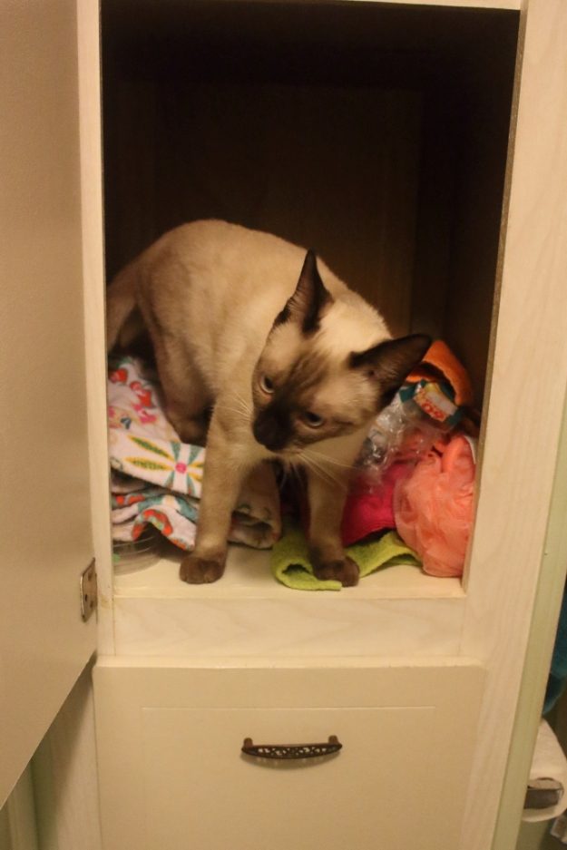 Siamese kitten in cabinet