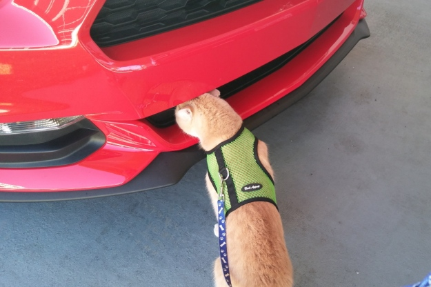 cat Frankie smelling car