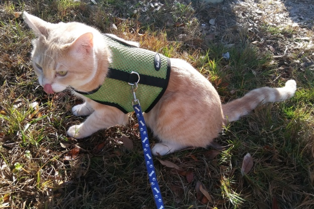 cat Frankie outside on harness
