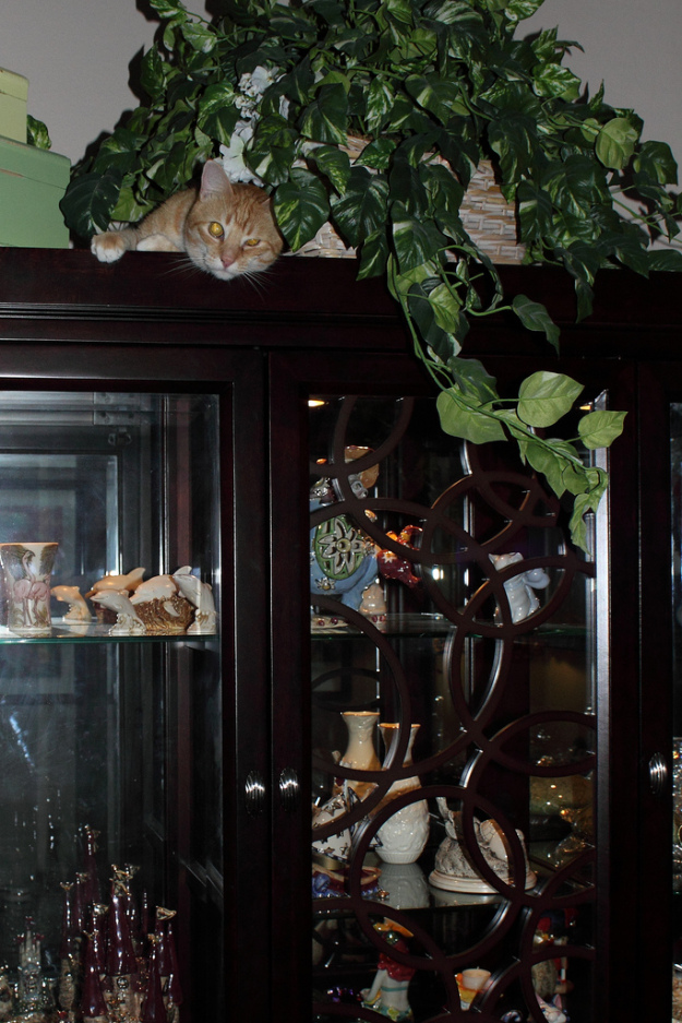 Our cat Chris on top of the China cabinet.