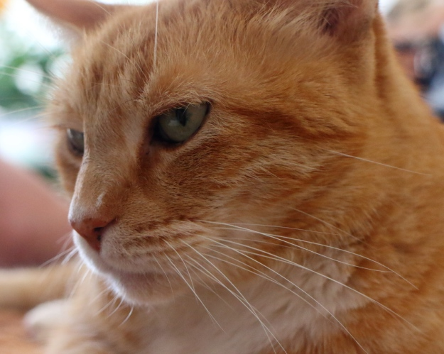 Pumpkin the ginger cat
