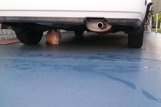 cat under car