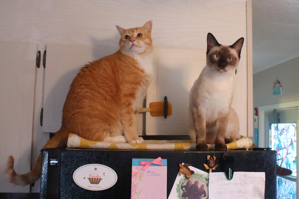 cats on fridge
