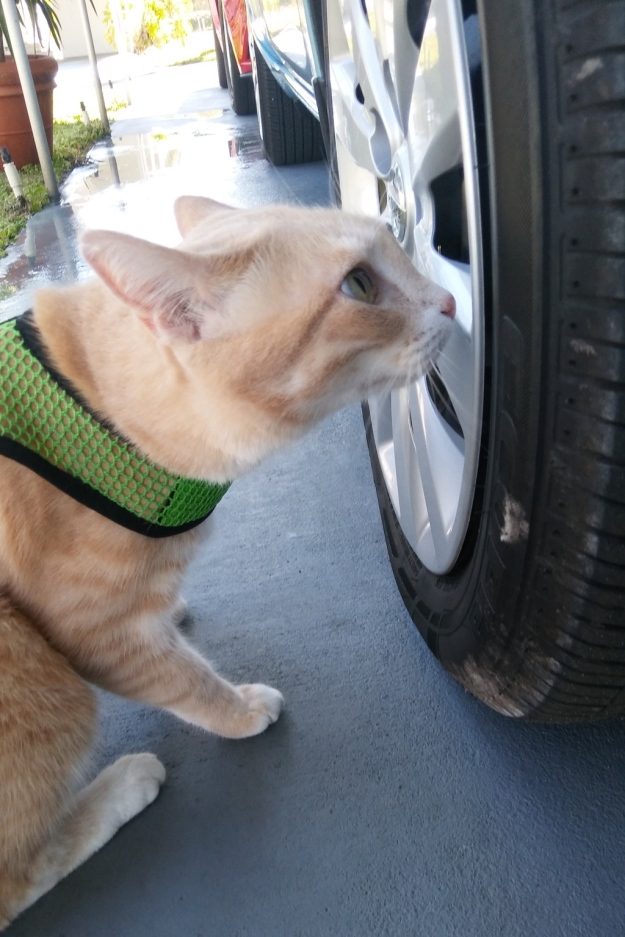 cat Frankie smelling tire