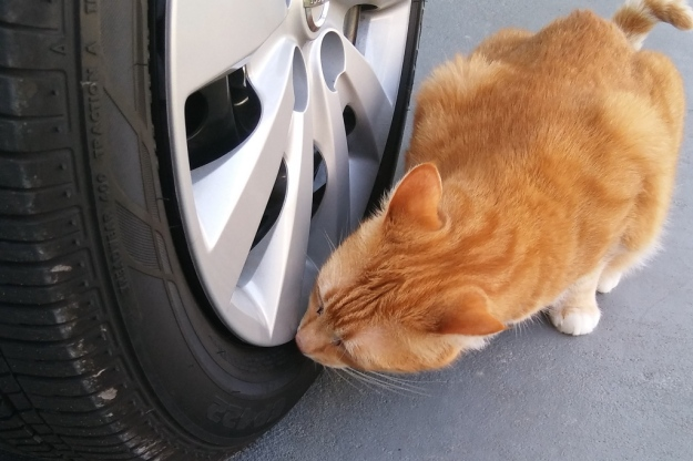 cat Chris smelling tire